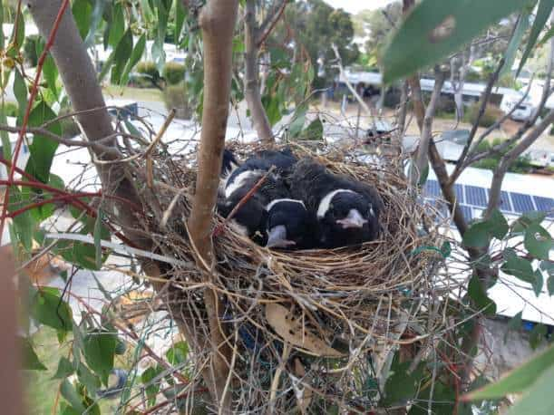 Magpie chicks