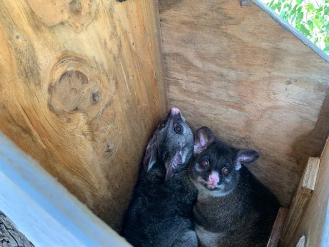 Ringtails in Possum box Bouvard